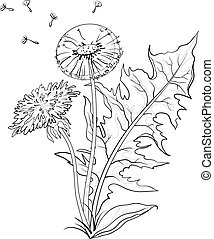 Flowers dandelions with leaves, contours