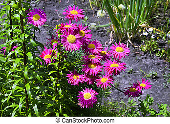 Flowers decorative pink daisies in the garden