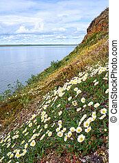 Flowers Dryas punctata in natural Yakutia tundra environment...