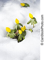 flowers Eranthis hyemalis one of first spring west middle east Europe flower