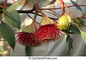 Flowers - Eucalyptus - Native Australian Eucalyptus flowers...