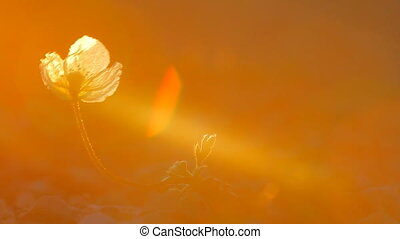 Flowers fleur: Arctic poppy backlit. - Arctic poppy blossom...