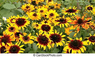 Flowers  rudbeckia
