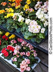 Flowers for sale in nursery