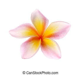 flowers frangipani (plumeria) isolated on white background