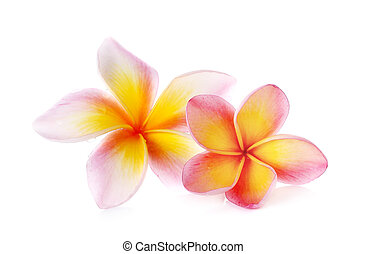 flowers frangipani (plumeria) isolated on white