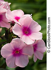 Flowers from Phlox - Pink flowers from Phlox blooming in the...