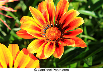 flowers gazania on a bed