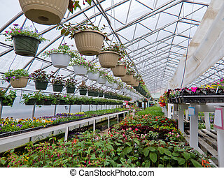 Cultivated ornamental flowers growing in a commercial plactic foil covered horticulture greenhouse for warmth and protection from the weather