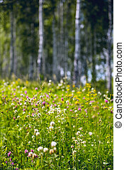 Flowers in a birch forest