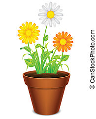 Flowers in a pot. - Daisy chamomile flowers with color...