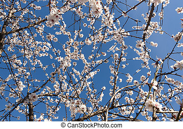 Flowers In Almond Tree In Sepia Tone Horizontal Format