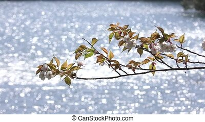 Flowers in glittering sunlight - Mountain cherry blossoms...