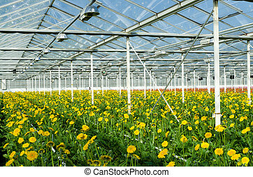 flowers in greenhouse - cultivation of yellow daisy flowers ...
