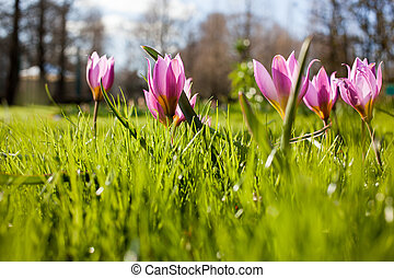 Flowers in Keukenhof park, Netherlands, also known as the...