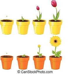Flowers In Pots - Daisy And Tulip In Pots, Process Of Growth...