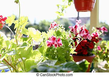 Flowers in pots on the balcony window sill window spring background