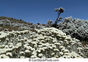 flowers in the Bale Mountains of Ethiopia
