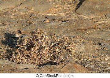 Flowers in the Namib Desert