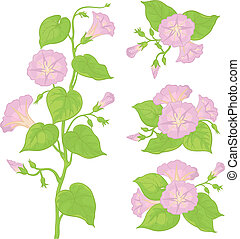 Flowers ipomoea with leaves - Lilac flowers ipomoea with...