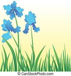 Flowers iris