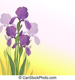 Flowers iris, lilac petals and green leaves on pink and yellow background. Vector