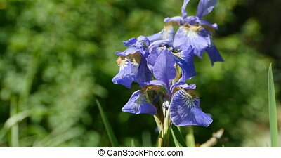 flowers irises close to - irises flowers purity, bumblebee...