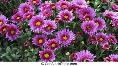 Flowers Lilac chrysanthemums - Many beautiful flowers Lilac...