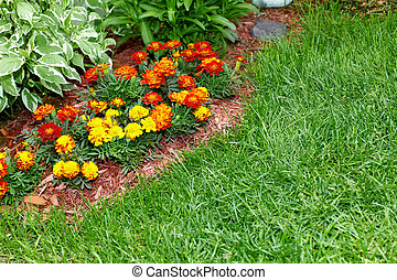 Flowers marigold in the garden. - Beautiful marigold flowers...