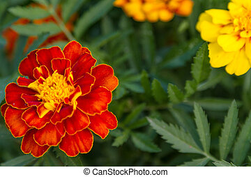 Flowers marigolds in the foliage