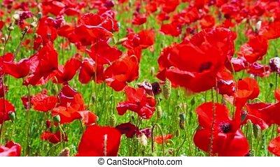 flowers meadow of red poppies field in windy day, farmland,...