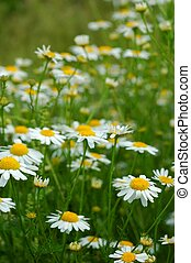 Flowers - Meadow with flowers