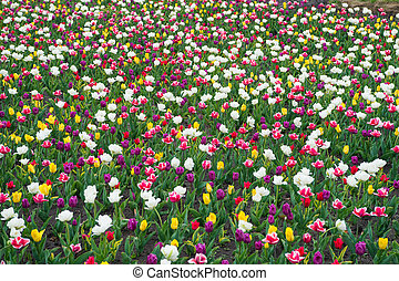 Flowers need good care. group of colorful holiday tulip flowerbed. Blossoming tulip field. spring landscape park. country of tulip. beauty of blooming field. famous tulips festival. Nature Background