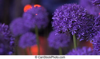 flowers night with drops 4 - Purple flowers with drops of...