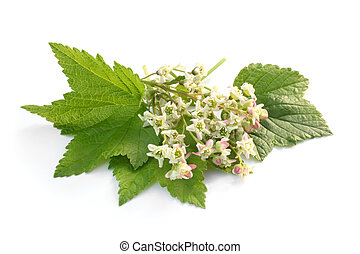Flowers of a black currant with leaves