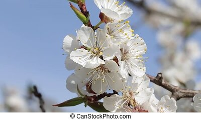 flowers of a blooming apricot on a branch