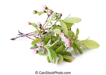 Flowers of a Bog Bilberry (Vaccinium uliginosum) with leaves