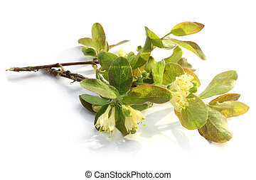 Flowers of a honeysuckle with leaves