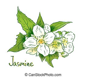 Flowers of a jasmine