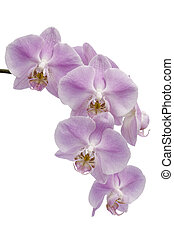 Flowers of a Phalaenopsis orchid hybrid - Many pink and...