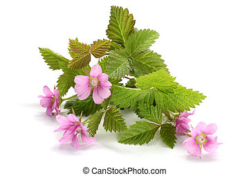 Flowers of a Rubus arcticus with leaves on a white ...