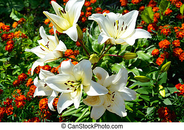 Flowers of a white Lily close-up on a flowerbed slices of marigolds and host. Beautiful summer landscape. Flowering shrubs of daylily.