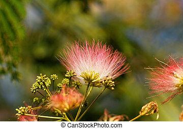 Flowers of acacia - close up photo ( Albizzia julibrissin )