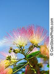 Flowers of acacia - Flowers of acacia, Albizzia julibrissin....