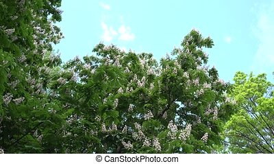 flowers of Aesculus conker tree on blue sky background. 4K