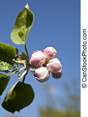 flowers of an apple tree against a blue sky
