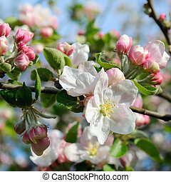 Flowers of an apple tree and sky