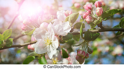 Flowers of an apple tree in the rays of a bright sun. Shallow depth of field. Focus on the front flowers. Wide photo.