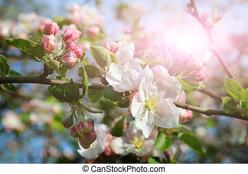 Flowers of an apple tree in the rays of a bright sun. Shallow depth of field. Focus on the front flowers.