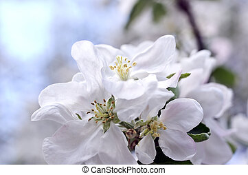 Flowers of an apple-tree in the spring